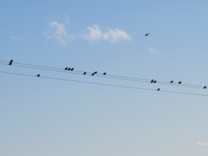 birds sitting on telegraph wires - N landing 29-10-13